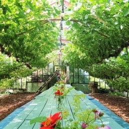 oude druivenkas van Druivenkwekerij Nieuw Tuinzight met een lange blauw-groene houten tafel en druivenstruiken die links en rechts groeien onder het glas van de kas in het Westland