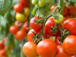 een tros rijpe en nog niet rijpe tomaten aan een tomatenplant in een kas in het Westland
