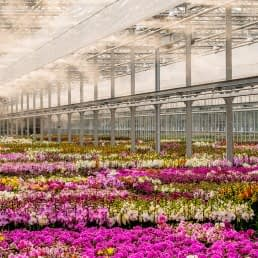 enorme glazen kas van Ter Laak Orchids in het Westland gevuld met verschillende kleuren orchideeën die bewaterd worden met nevel