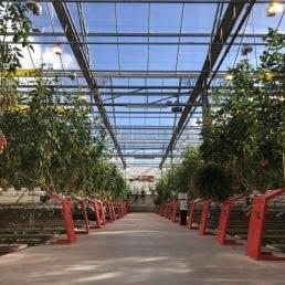 tomatenkas van Tomatoworld in het westland