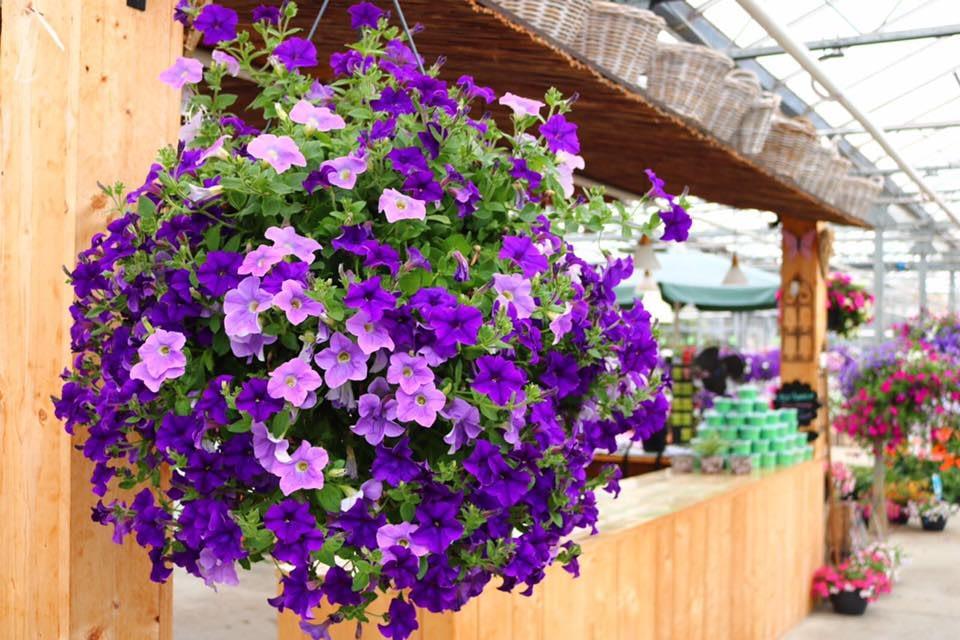 paarse hangplant bij de entree van tuincentrum de Zonnebloem in het Westland