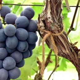 tros rijpe blauwe druiven aan een druivenstruik in een glazen kas in het westland